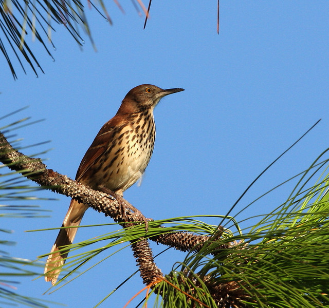 Brown Thrasher seen in Rock Springs Reserve State Recreation Area