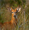 First buck photo of the new year walking through the tall grass.   4-20-2013
