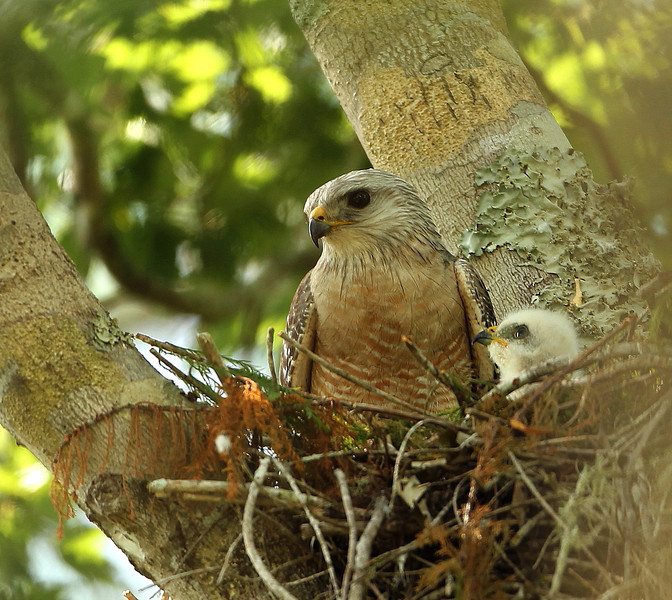 "Red Shouldered Hawk and chick in the Fakahatchee Strand State Preserve. The Fakahatchee Strand is truly a unique and beautiful preserve. This special place is cared for by the ""Friends of the Fakahatchee"" who treated us like family during our 4 day visit. We will be going back!!"
