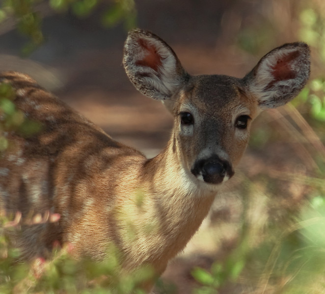 By chance, captured this shot of a young deer while walking the Florida Trail near Alexander Springs in the Ocala National Forest.