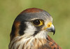 Resident Kestrel of The Avian Reconditioning Center in Apopka, Florida