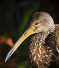 Limpkin taken while kayaking in Alexander Springs located in the Ocala National Forest.