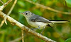 Female Blue Gray Gnatcatcher