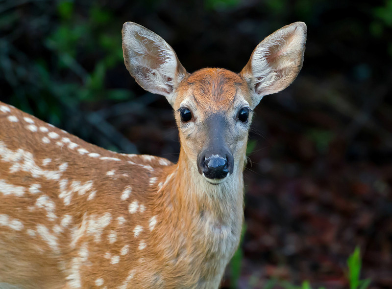 This fawn was seen in the Lower Wekiva River Preserve in June 2013