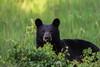 Black Bear - 5/9/10