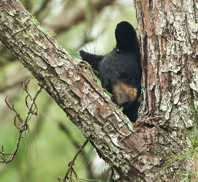 Came across this little bear, sleeping in the tree and we watched each other for a little bit and then I left him as I found him.  He is a yearling so he's probably been without his mama for about 4 or 5 weeks now.   I wonder if the world's seem like a scary place to him.