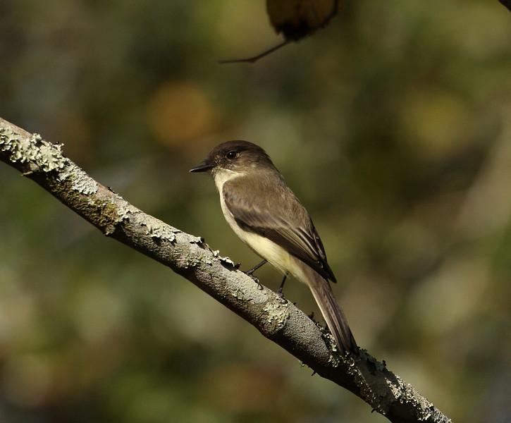 Eastern Phoebe seen in Wekiva Springs State Park, Florida