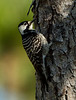 The red-cockaded woodpecker is a federally endangered species and is protected by the federal Endangered Species Act. Florida Fish and Wildlife dictates caution around these birds and states that you should not approach the cavity trees.