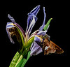Wild Blue Iris with a Silver-spotted Skipper moth