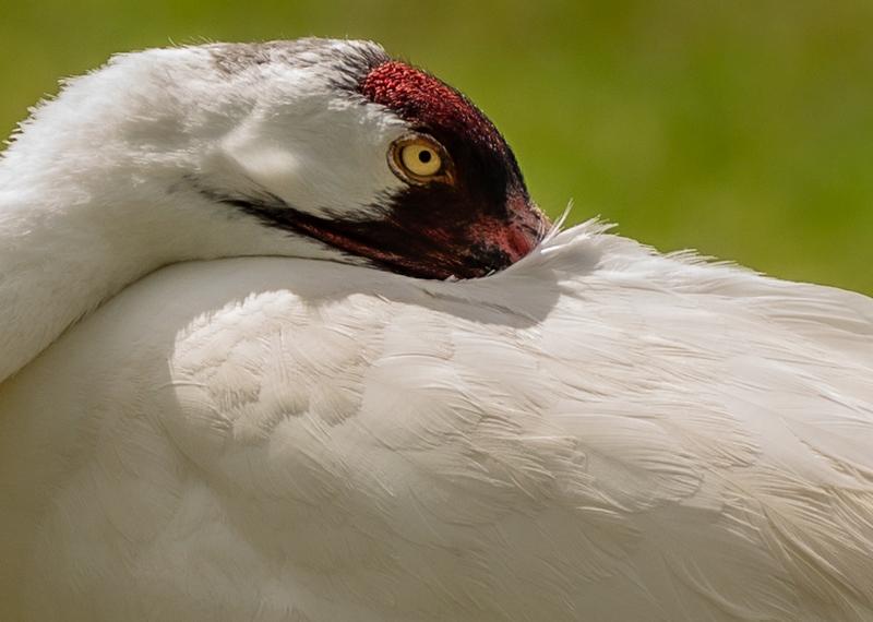 Florida Non-Migratory Whooping Crane