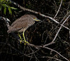 Juvenile Night Heron - 3/17/13