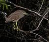 Juvenile Night Heron - 3/17/13
