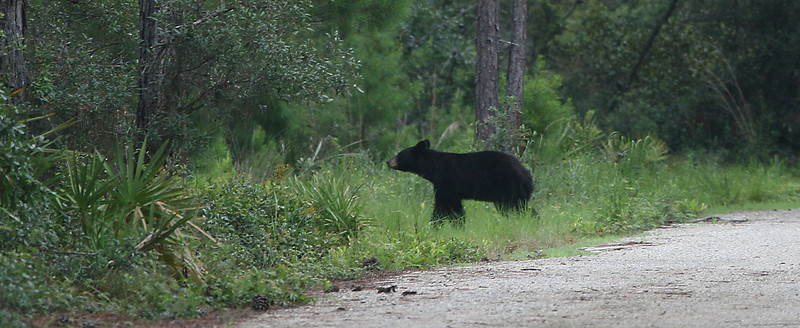 Young Florida Bear.