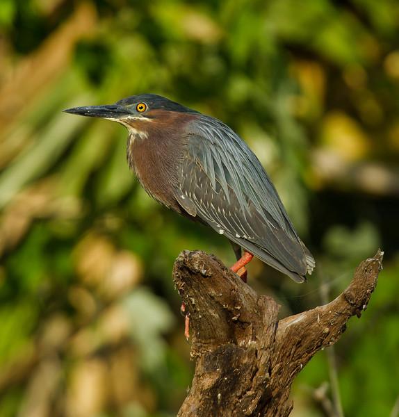 Little Green Heron on the Wekiva River.