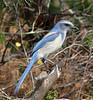 Threatened Florida Scrub Jay