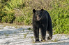"On Dec.7, 2009, a large male bear was hit and killed just outside the forest and while I haven't seen Bruno for months, I hope the bear hit wasn't him. He was a great bear I always enjoyed photographing. However, I took this photo today (June 27, 2010) of a new young male in ""Bruno's"" summer turf so it made me a little anxious for the big guy. I'll keep an eye out for Bruno, but it looks like this may be a new bear in town"