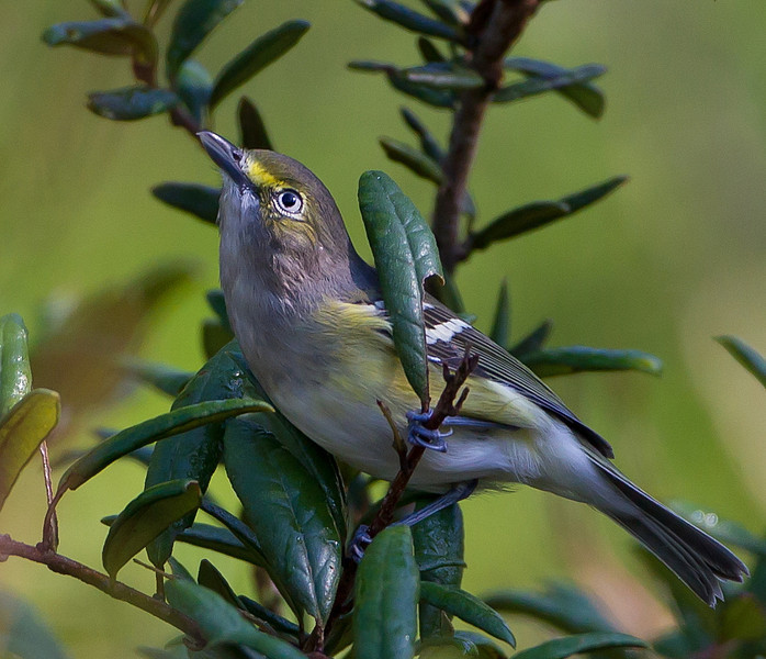 This is one of my wife's favorite recent photos, taken in Rock Springs Run State Reserve.  It is a White-eyed Vireo.