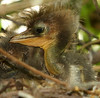 Hours old Green Heron