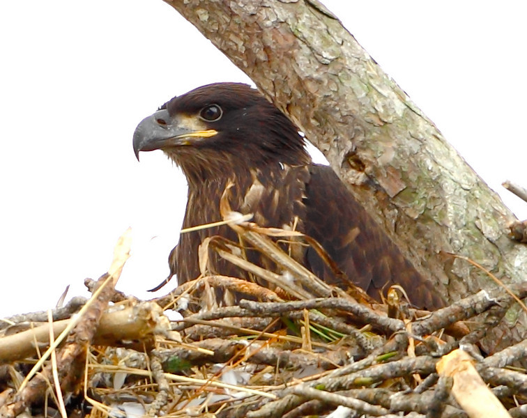 As best as we could see, there is only one eaglet left in the nest at Lake Harney on 3/6/11 .