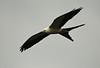 Swallow tail kite seen on 5/29/10.