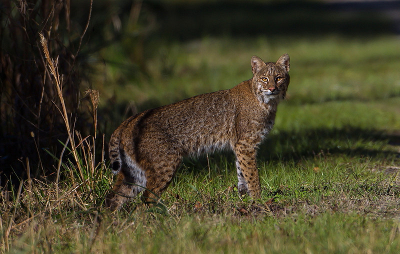 I had essentially given up for the day and was headed back to my car and this bobcat walked out right in front of me.  I snapped three or four pictures and he was gone.  You never know what might surprise you!