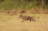 Snapped this photo of a coyote as he was stalking 4 Sandhill Cranes.   However, the cranes spotted him and made it clear to the coyote there would be no lunch today.  It was interesting they did not fly away, they just huddled together and walked rapidly away from him which was enough to deter him.  See next photo.