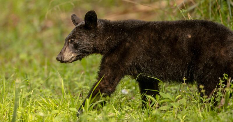 Saw this little black bear in the Fecthel Tract of Lower Wekiva Reserve.