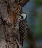 Endangered Red-cockaded woodpecker.  According to FWC, there are approximately 1,100 family groups in Florida.