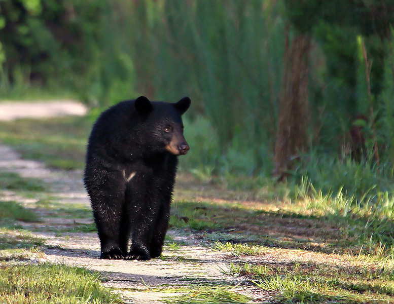 First bear photo of 2013 and what a handsome, healthy model he was!
