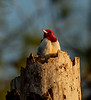Red-headed Woodpecker warming himself in the morning sun in Seminole State Forest