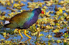 Purple Gallinule - 3/17/13