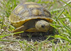 Gopher tortoises have been around some 60 million years, This little guy is around two years old which would give him another 98 years or so to live. That would mean the park ranger who will take care of this young tortoise when he's an old tortoise will not be born for another 50 years!!