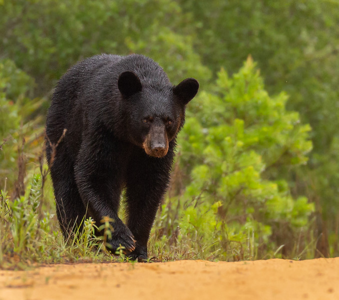Thanks to the patient instruction of my husband, I am getting better at taking Florida black bear photos - here's one of my best so far.   It was a wonderful, wild experience!  Photo by Virginia Brouillard