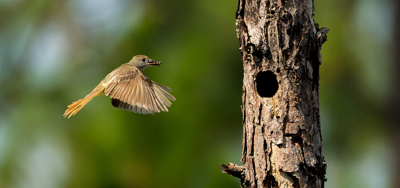 Great Crested Flycatcher brings in food to the nest.  I hope to return in a couple of weeks to see if the chicks are ready to peek out into the world. 6/30/12