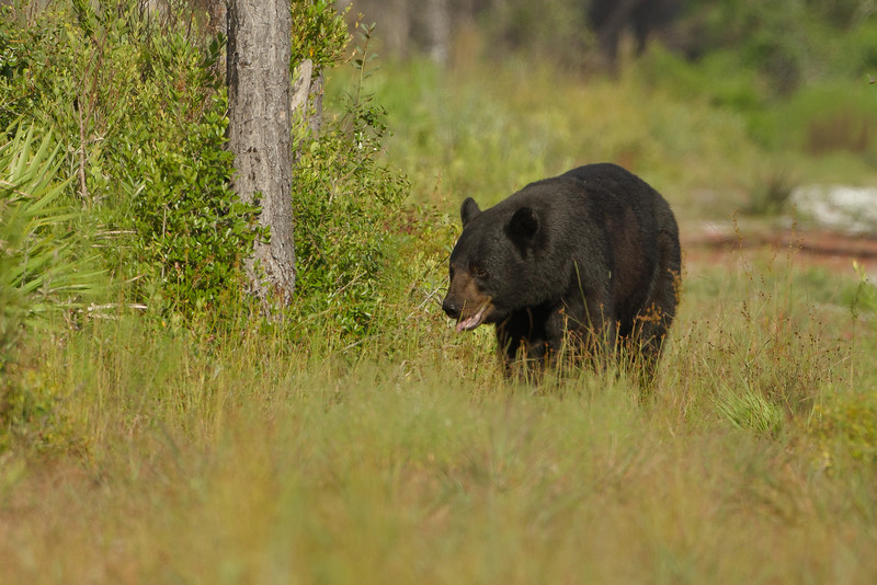 It was 8.30 in the morning, 85 degrees and this guy was headed for the swamp. Smart bear!!  8/7/10