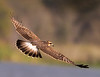 Female Snail Kite. There are approximately 400 breeding pairs in Florida and is listed as a locally endangered species.