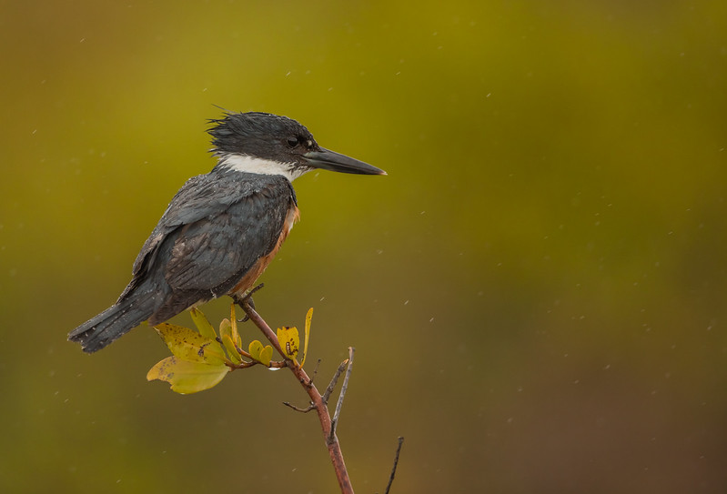Kingfisher in the rain at Merritt Island