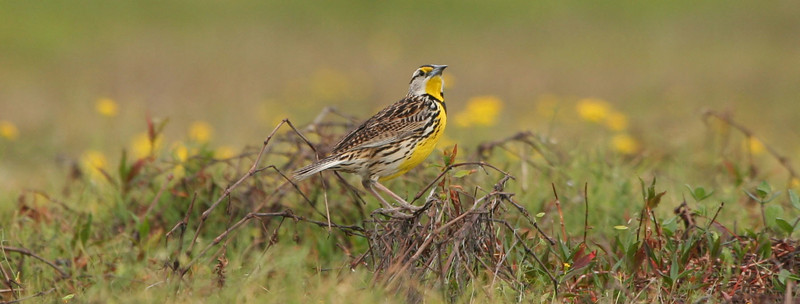 Meadowlark in a cow pasture in Osteen