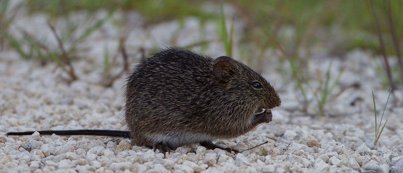 What can I say, it it hops around in nature and it's a critter, I'm gonna take its picture!  I believe it is a Marsh Rat and this photo was taken in Merritt Island National Wildlife Refuge on Black Hammock Wildlife Drive.
