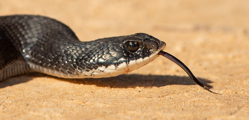 Eastern Hognose snake with an ant taking a free ride.