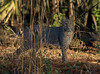 Photo of a bobcat taken in Rock Springs Run State Preserve.