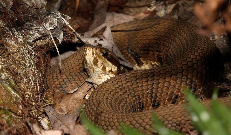 Cottonmouth Snake, Fakahatchee Strand.