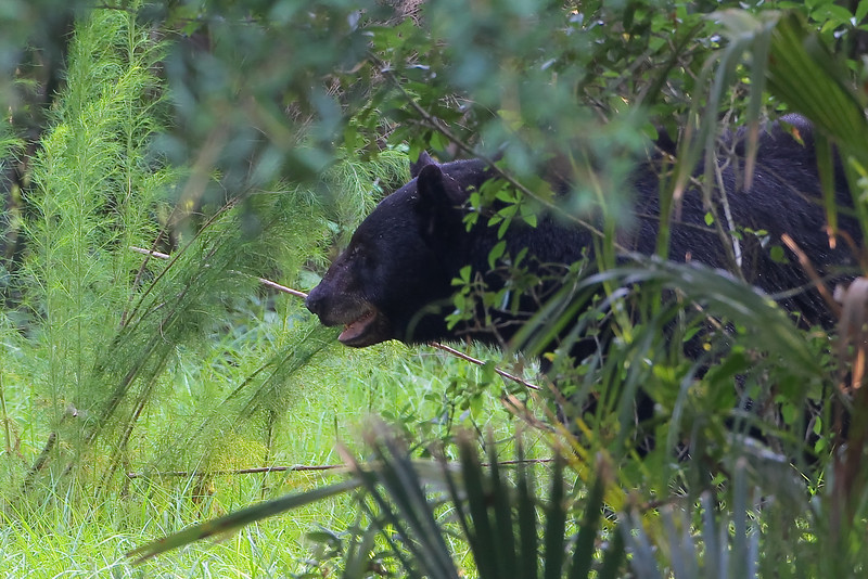 After 5 years of photographing bears in the wild, this is the first one I've seen with grey on his face!  It's good to know there's some old ones out there. 5/29/10
