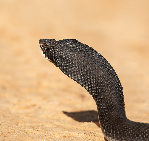 This is a harmless Eastern Hognose snake.  It's flattening of the neck is a defense mechanism.  Unfortunately, this defense mechanism often frightens people, thinking it is a venomous snake and it is killed as a result.