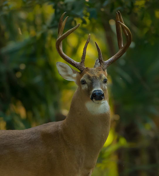 Eight point buck in the Wekiva River Basin.