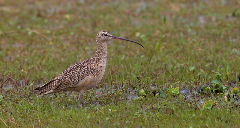 Another unusual bird to see in Eastern Central Florida, a Long billed Curlew.