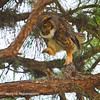Great Horned Owl Stepping Out