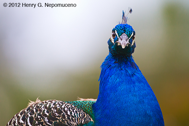 Indian Peacock, copyright © 2012 Henry G. Neopmuceno.  December, Arnold's Wildlife Center, FL.