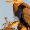 Great Blue Heron, copyright © 2011 Henry G. Nepomuceno.  Wakodahatchee Wetlands, FL.