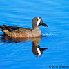Blue-winged Teal, copyright © 2011 Sharon K. Broutzas.  December, Merritt Island NWR, FL.